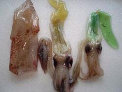 Mực ống có túi mật màu xanh